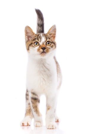 A cute kitten stands and looks at the camera. The cat is standing by lifting the tail. The cat is isolated on a white background. As package design element for cat food