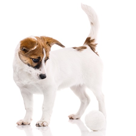 The dog is with a raised tail. The puppy looks down. Puppy standing near the ball. Isolated on a white background. The dog looks at the ball 免版税图像