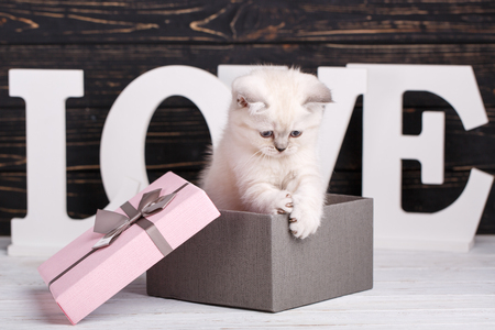 Scottish straight cat cream color. Making a postcard for a lovers day. Scottish purebred kittens during a professional shooting. The kitten sits in a gift box