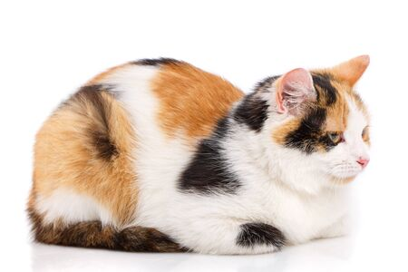 Unhappy cat on a white background. A frustrated cat sits with his head lowered