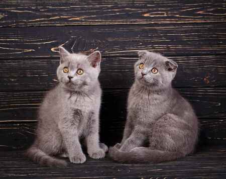 Scottish straight and scottish fold kittens. Two gray fluffy kittens are looking to the left. Funky kittens explore new territories. On a black background