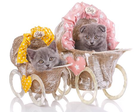 Scottish straight and scottish fold kittens. Two kittens in decorative strollers. Purebred kittens at the photo studio. Cats with decorations. Isolated on a white background. Stockfoto
