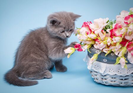 Kitty sits sideways and looks flowers. The cat is playing with flowers. Kitty sniffs flowers. Professional shooting a kitten. On a blue background