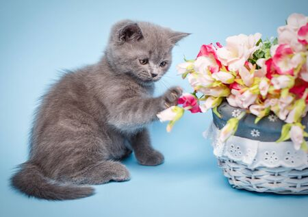 Scottish straight kitten. A kitten is next to pink flowers. The kitten touches the paw to the flowers. Cat with decorations. On a blue background Stockfoto