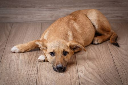 A sad red dog is on the boards. The dog is waiting for the owner. Pets. Dogs are friend of people Zdjęcie Seryjne - 128957825