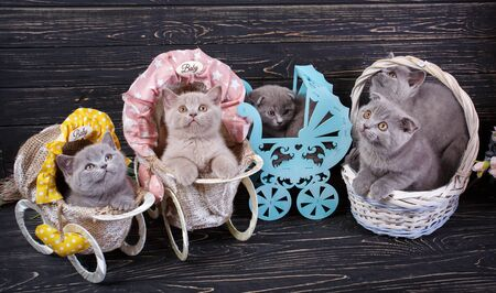 Scottish straight and scottish fold kittens. Funny kitten with decorations. Playful fluffy kittens. On a black wooden background