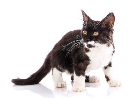 Fluffy cat with a black back, white belly and long mustache looks to the side. Isolated on a white background
