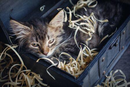 Fluffy, striped, little, hilarious kitten in an open chest