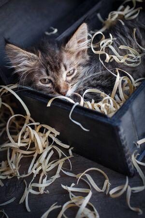 Fluffy, striped, little, hilarious kitten in an open box