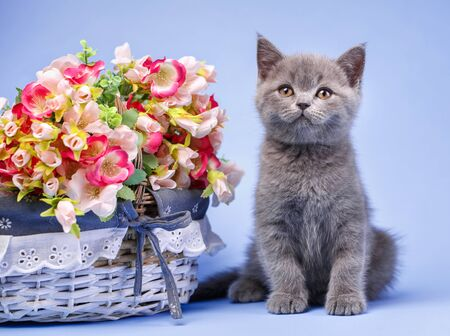 Scottish straight kitten. The kitten is next to the bright flowers. Professional shooting a kitten. On a blue background Stock Photo