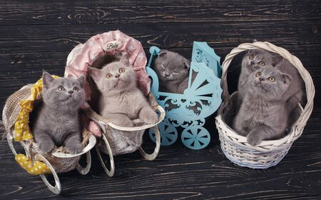 Scottish straight and scottish fold kittens. Funny kitten with decorations Stock Photo