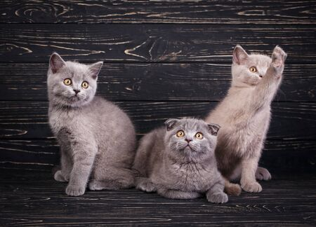 Scottish straight and scottish fold kittens. Miles are fluffy kittens Stock Photo