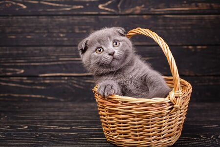 Scottish fold kitten. Funny gray kitten in the basket. A kitten put a paws on the edge of the basket. Professional photography of kitten. On a black wooden background Zdjęcie Seryjne
