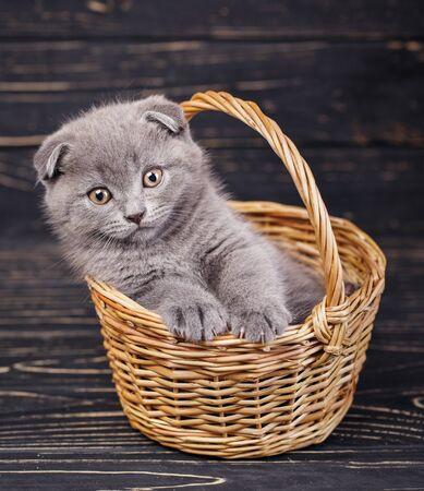 Scottish fold kitten. Gray kitten on photo studio. A kitten put a paws on the edge of the basket. Kitty looks forward. Professional photography of kitten. On a black background Zdjęcie Seryjne