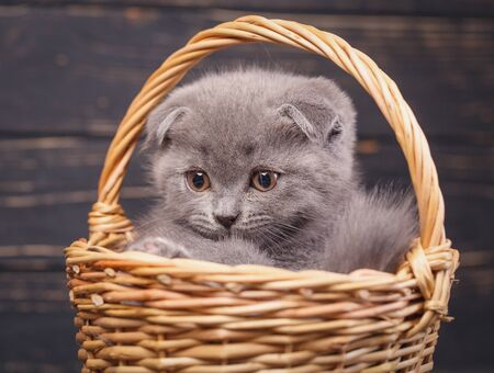 Scottish fold kitten. The kitten looks to the left. A puffy kitten sitting in a basket. Fluffy gray kitten with decorations on a black background Zdjęcie Seryjne