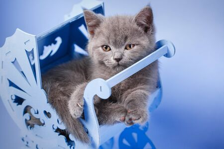Scottish straight kitten. The cat is lying in the light of a blue carriage. The cat conveniently laid down in the cradle. The kitten poses in front of the photographer. On a blue background