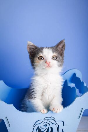Kitty in a decorative blue box on a blue background. Fluffy cat Zdjęcie Seryjne