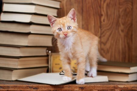 A kitten stands in an open book and looks at the camera. A cat in the library reads a book. on a wooden background