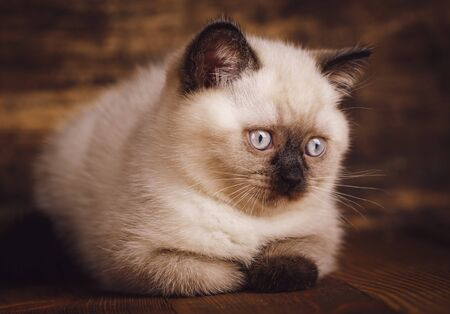 Scottish straight cat cream color. As a design element gift wrapping. Purebred Kittens at the photo studio. A fluffy cat is lying and looking to the right Zdjęcie Seryjne