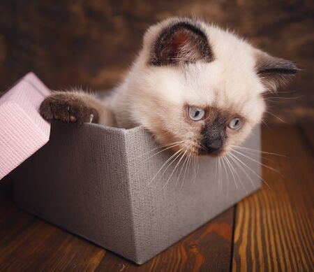 Scottish straight cat cream color. Template for cat food packaging. Purebred Kittens at the photo studio. Kitten is in the gift box