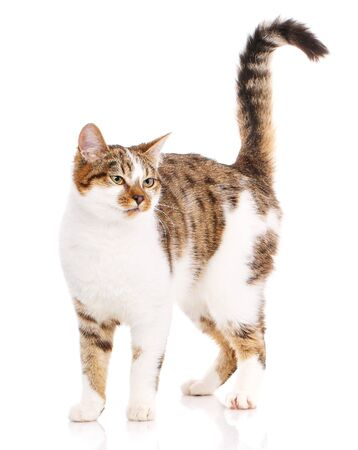 Happy cat on a white background. Cat without breed. Photo for advertising. Cat Poster Zdjęcie Seryjne - 128957820