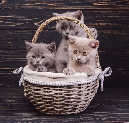 Scottish straight kittens. Two gray cats and one coffee cat in the basket. Three cats in the basket. The cats put the paws on the basket. Cats with decorations. On a black background