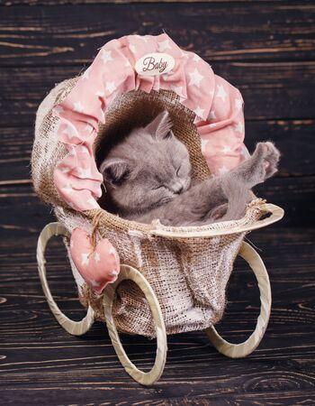 Scottish straight kitten. Fluffy gray kitten with decorations on a black background