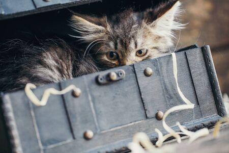 A striped cat hid in a vintage chest Zdjęcie Seryjne