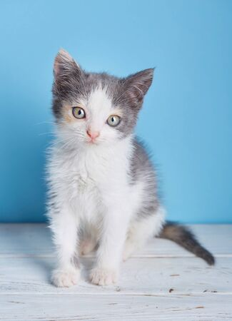 White and gray kitten on a white table. The cat poses for the photographer