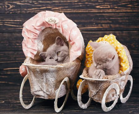 Scottish straight and scottish fold kittens. Furry kittens in decorations. On a black background