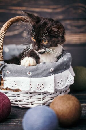 Black and white kitten in the basket. A playful kitten