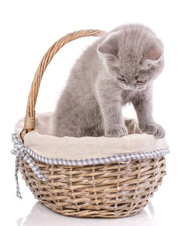 Schottisches gerades Kätzchen. Ein Kätzchen steht in einem Korb und schaut nach unten. Eine Katze mit pelzigem Schnurrbart ist auf einem weißen Hintergrund isoliert.