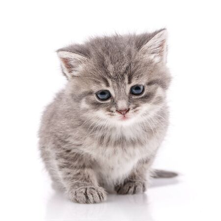 Little gray kitten on a white background. Cat with blue eyes. cat - friend of man