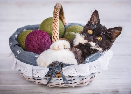 A playful kitten lies in a basket with green balls. Black and white, fluffy kitten is played with balls. Isolated on a white background.