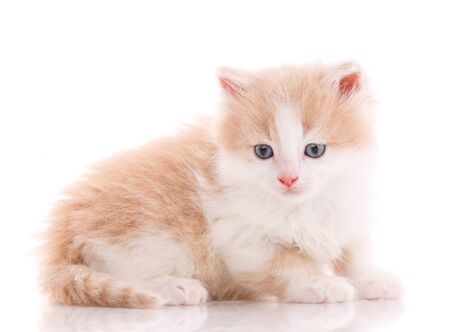 One beautiful kitten isolated on a white background. Portrait of a cat. Studio shot.