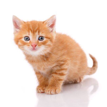One beautiful kitten isolated on a white background. Portrait of a cat. Studio shot. Archivio Fotografico - 133942679
