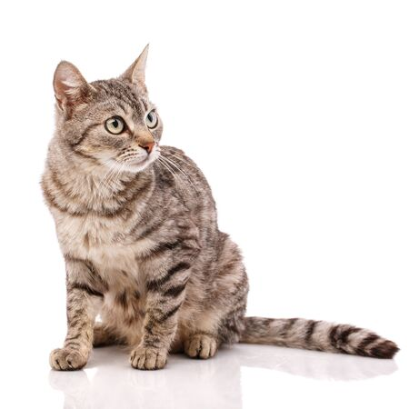 Adult striped cat with green eyes on a white background