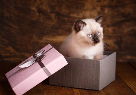 Scottish straight cat cream color. Template for cat food packaging. Scottish purebred kittens during a professional shooting. Kitten is in the gift box