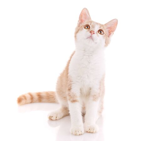Cute red and white young cat isolated on white background