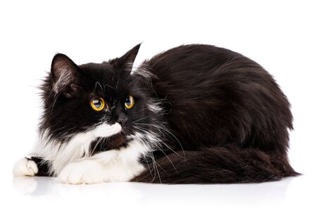 Black and white cat sits sideways. Cat on a white background. Poster for hotels for animals. Photo on the calendar Stock fotó