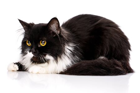 A furry kitten sits and looks to the left. An angry cat on a white background. Poster for pet stores