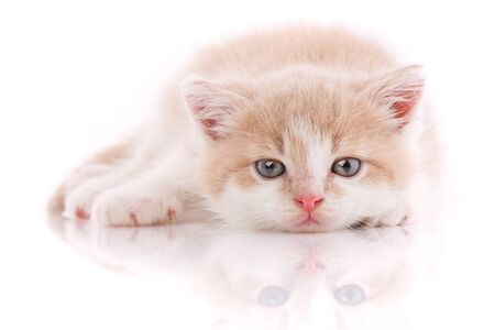 A little cute kitty lying on her back. Funny creepy kitten on a white background. Looking at the camera.