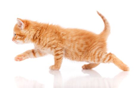 Cute red kitten isolated on white background. Side view.