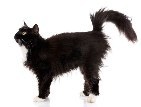 Side view of a Black Cat walking, isolated on white