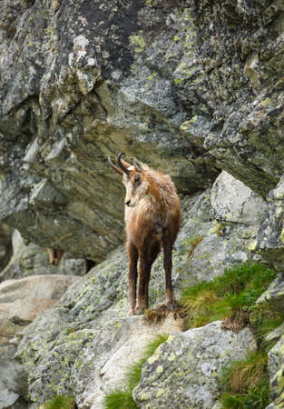 A mountain goat stands on the edge of a rock high in the mountains. High Tatras mountains. 스톡 콘텐츠