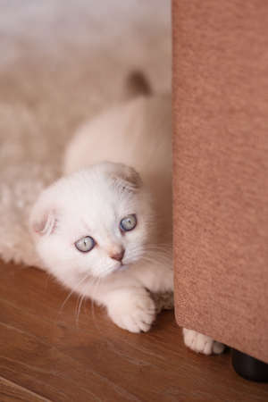 White kitten with bright eyes looks from behind the sofa. Time for games.