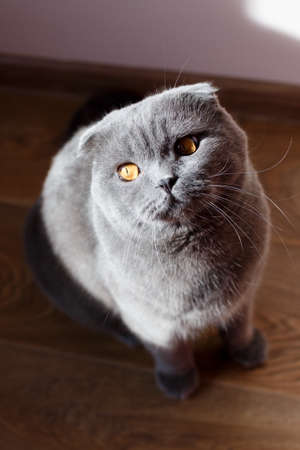 The gray cat sits beautifully and happily on the floor in the room. The rays of the sun accentuate the cat's yellow eyes.