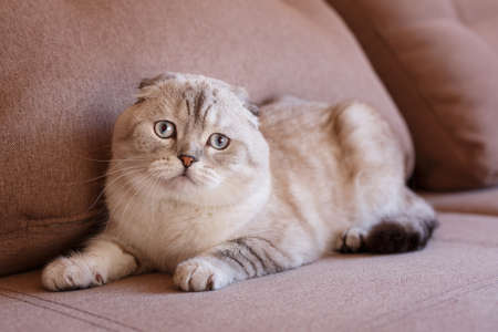 Portrait of a scottish fold cat. Gray cat with beautiful patterns. Face of scottish fold cat. 스톡 콘텐츠