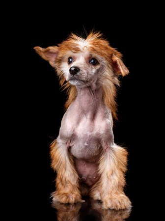 Portrait of Chinese crested dog on a black background. The dog sits and looks away.
