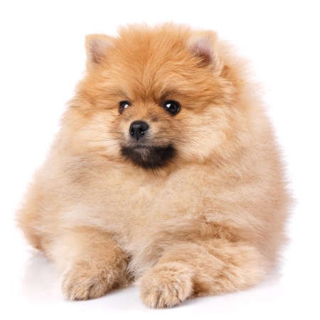 Cute little pomeranian spitz puppy lies on a white background.